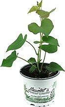2er Set Süßkartoffel Pflanze Ipomea batata,