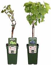 2er Set Trauben Pflanzen | Bio Obststrauch |