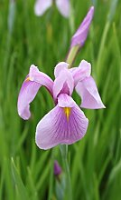 2er-Set - winterhart - Iris laevigata 'Rose