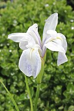 2er-Set - winterhart - Iris laevigata