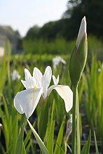 2er-Set - winterhart! - Iris Sibirica-Hybr, weiß