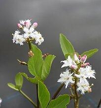 2er-Set - winterhart! - Menyanthes trifoliata - Bitterklee - Fieberklee, weiß - Wasserpflanzen Wolff