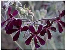 2x Pelargonium sidoides Samen Geranie Pflanze