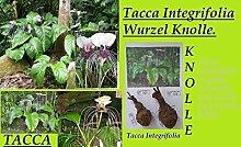 2x Wurzel Knolle Tacca Integrifolia Fledermaus Pflanze Garten Frisch original Frisch