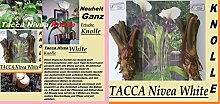 2x Wurzel Knolle Tacca Nivea white Fledermaus Pflanze Garten Frisch original