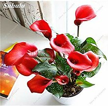 3: 100 PC-Calla-Lilien-Samen-Blumen-Lilien-Samen