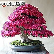 3: 100 Teile/beutel 22 arten Azalee Blumensamen
