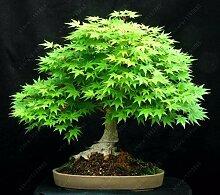 3: 20 Teile/beutel Ahorn Bonsai Baum Seltene