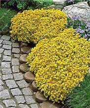 3: 200 Creeping Thymian Samen Blumensamen Rock