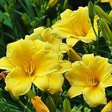 3 Lilium asiatic - Asiatische Lilie 16/18cm
