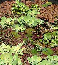 3 Muschelblumen + 3 Wassernüsse, Schwimmpflanzen