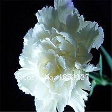3: Nelkensamen, Dianthus Caryophyllus, 100%