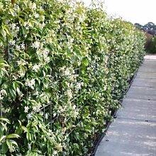 3 Sternjasmin (Immergrün & Winterhart) - 1 Meter Hecke : 3 Pflanzen kaufen/2 bezahlen / Weiß - 1,5 Liter Topfen | ClematisOnline Kletterpflanzen & Blumen