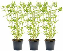 3 Stevia-Pflanzen, mehrjährig von DESCENA, Stevia
