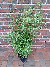 3 Stück Bambus, Fargesia Rufa, Höhe: 90-100 cm,
