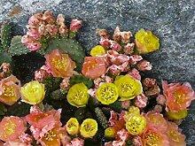 3 winterharte Pflanzen Opuntia fragilis gelbe