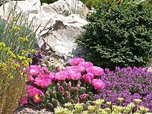 3 winterharte Pflanzen Opuntia fragilis lila
