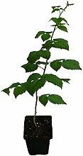 3 x Himbeere GLEN COE Pflanze violette Früchte