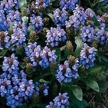 30 + Bella Blau Prunella Bodendecker/Perennial