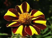 30 + HEIRLOOM HARLEQUIN Blumensamen