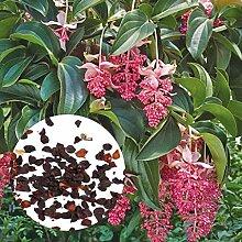 30 Rare Kronleuchter Pflanzensamen Frisch