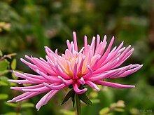 30 Rose Pink Nadel Aster Callistephus Unicom