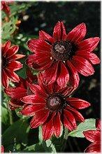 30 + Rudbeckia Kirschbrand Blumensamen/Perennial