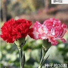 30 Samen/Pack Nelkenblumensamen Topfblüten