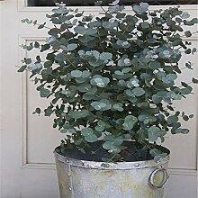 30 Stück Eukalyptusbaum Samen Bonsai Pflanze