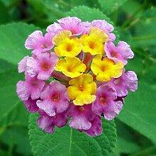 30 Stücke Bonsai Zierpflanze Lantana Samen Garten