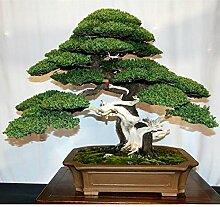 30 Wacholder Bonsai-Baum-Samen Topfblumen Büro