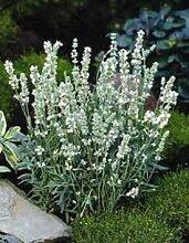 30 + Weiß Lavendel-Blumensamen/Lavendula /