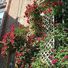 300 / Beutel-Qualitäts-Kletterpflanze Polyantha Rose sät DIY Hausgarten Dekoration Pflanzentopfblumensamen Großhandel Verkauf