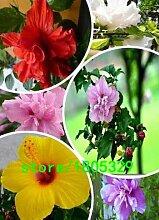 300 Riesen-Hibiskus-Blumensamen Hardy,
