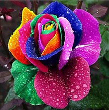 300 Stück Bunte Regenbogen Rose Blumensamen