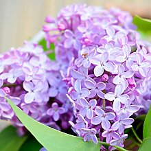 300 Stück Lila Blumensamen Nelke DIY Hausgarten