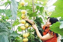 30pcs / bag Importierte Kürbis-Samen im Freien Sukkulente Cucurbita Golddraht Kürbis Bonsai Topfgemüsepflanze für Gartendeko