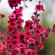 30pcs / bag Rare Südseemyrte Blumensamen