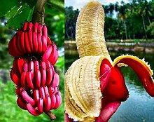 30Pcs Banana Samen Fruchtsamen Rosa Banane Musa