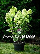 30Pcs Bunte Hortensie, Hydrangea Samen Viburnum