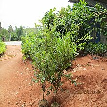 30pcs Fruchtsamen brasilianischen Traubenbaumsamen Jabuticaba wächst Früchte Auf seinem Stamm-Garten-Dekoration Pflanze