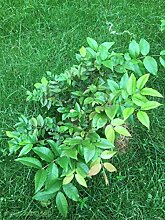 30pcs Fruchtsamen brasilianischen Traubenbaumsamen