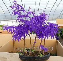 30pcs / lila japanische Ahornsamen, seltener