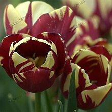 30Pcs / Lot Doppelte Tulpe Seeds (Nicht Tulip