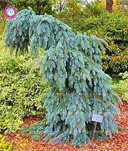30Pcs Rare Blue Climbing Fichtensamen Picea Baumsamen Hof Garten Pflanze Staude Außenzierpflanze