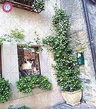 30pcs Weißen Jasmin Klettern Blumen-Samen duftend