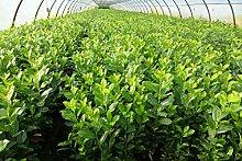 30st. Kirschlorbeer Rotundifolia 80-100cm reine