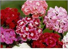 30x Bartnelke einzelblumig gemischt - Dianthus