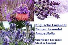 30x Englische Riesen Lavendel lavendel Angustifolia Starker Duft Pflanze Saatgut Samen Blumensamen Garten Neuheit #47