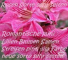 30x Rosen Lilien pink Lila Samen Sehr selten Blumen Blumensamen Saatgut Pflanze Rarität Garten Zimmerpflanze Neuheit #65
